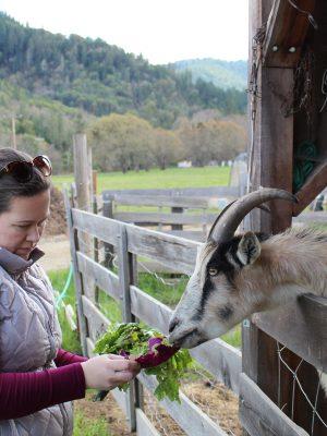 feeding-goats-at-lane-creek-reserve-farm