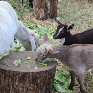 baby-goats-grazing-lane-creek-reserve