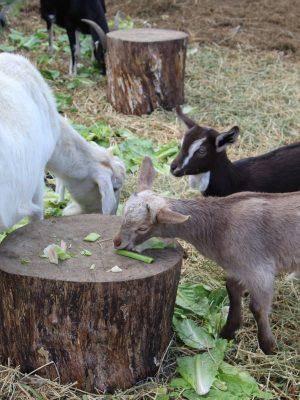 baby-goats-grazing-lane-creek-reserve
