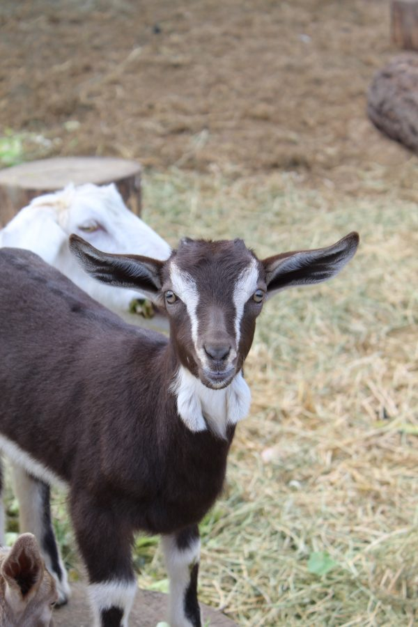 grass-fed-goat-at-lane-creek-reserve-rogue-valley