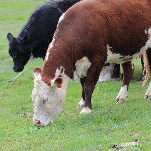 cows-grazing-grass-fed-beff-for-sale