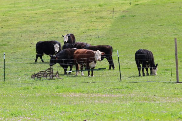grass-fed-beef-cattle-grazing-local-meat-for-sale