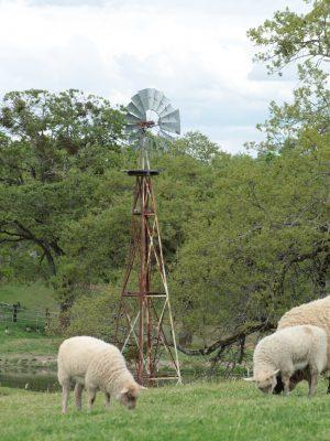 lamb-sheep-grass-fed-lamb-meat-rogue-valley