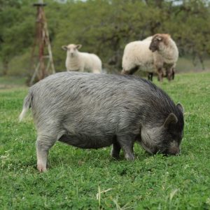 pastured-pork-free-ranging-foraging-lane-creek-reserve