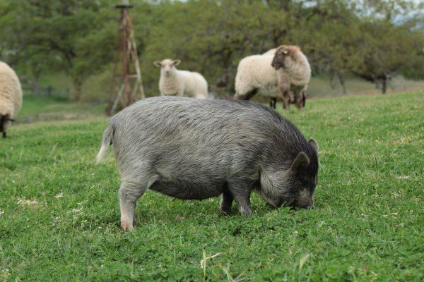 pastured-pork-free-ranging-foraging-lane-creek-reserve
