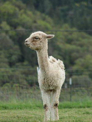 llama-alpaca-animal-husbandry-lane-creek-reserve
