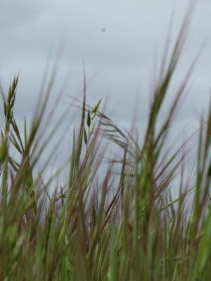 wheat-in-the-wind-polycu;ture-regenertaive-farming-practices
