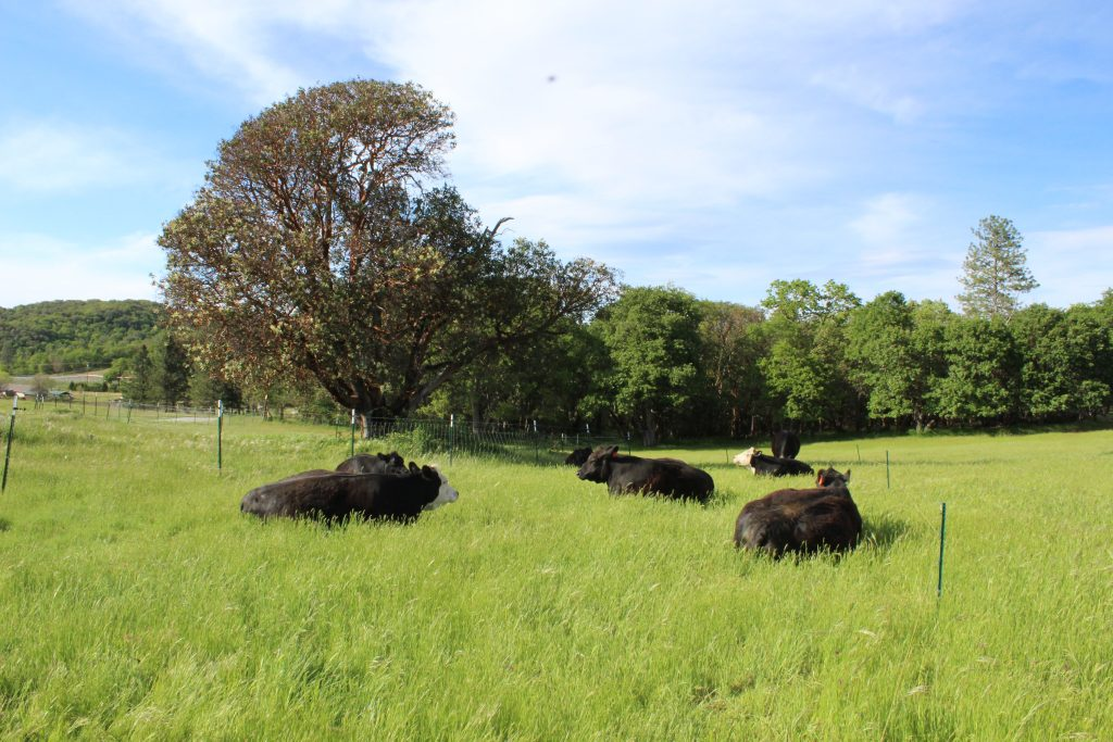 cows-at-lane-creek-reserve-rotational-grazing
