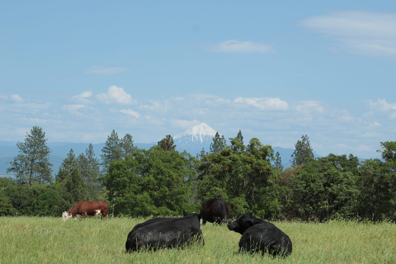 rotational-grazing-cows-southern-oregon-rogue-valley