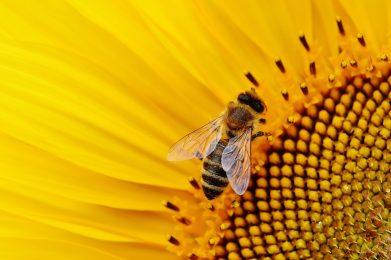 sunflower, bees, summer