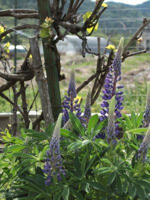 lupines-fresh-cut-flowers-lane-creek-farm