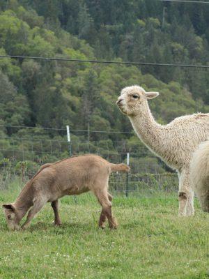 sheep-goats-llamas-lane-creek-reserve-farm