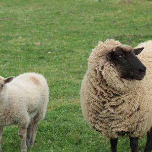 pastured-grass-fed-lamb-local-meat-for-sale-rogue-valley