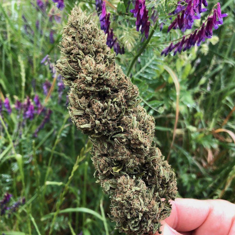 Special-sauce-trimmed-cbd-hemp-bud-flower